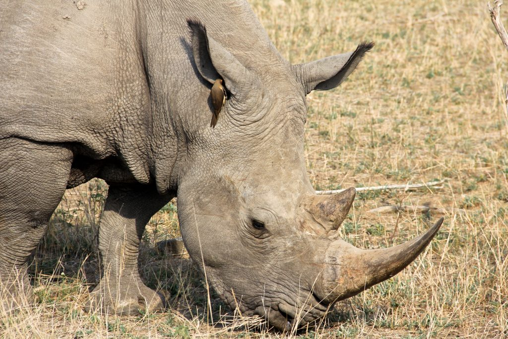 White rhino on safari