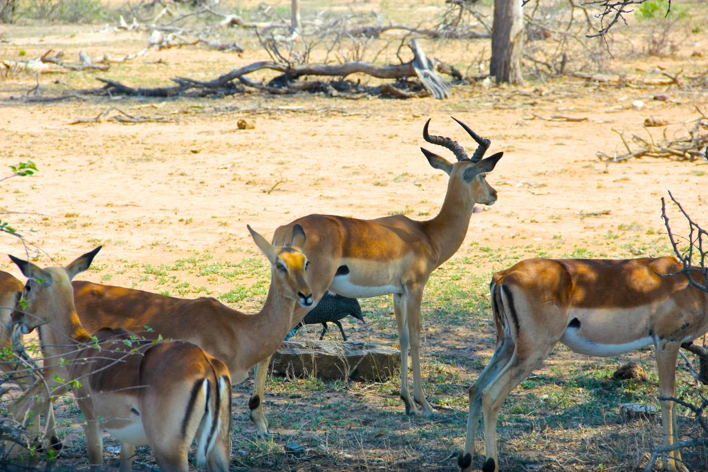 Impala on safari