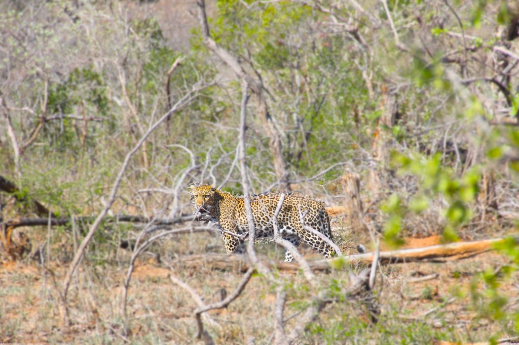 Leopard on Kruger safari